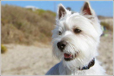 west highland terrier their early beginning and history